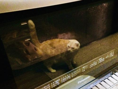 レンジの見張り猫